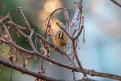 gold crest -head on! (GWMcLaughlin) Tags: ef 100400l 70d wildlife glasgow canon bird goldcrest