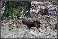 _DSC7273 (nowboy8) Tags: nikon nikond7200 nikond500 bradgatepark bradgate deer bambi oldjohn riverlin monkeypuzzletree rutting scenery leicestershire