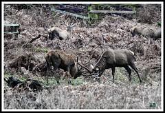 _DSC7269 (nowboy8) Tags: nikon nikond7200 nikond500 bradgatepark bradgate deer bambi oldjohn riverlin monkeypuzzletree rutting scenery leicestershire