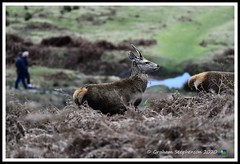 _DSC7256 (nowboy8) Tags: nikon nikond7200 nikond500 bradgatepark bradgate deer bambi oldjohn riverlin monkeypuzzletree rutting scenery leicestershire