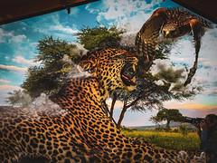 A TENT'S EYE VIEW (eliewolfphotography) Tags: art artwork safari serengeti leopard surrealism animals cats creative composite