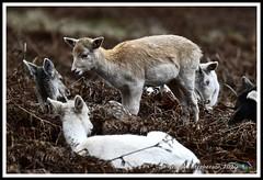 _DSC7216 (nowboy8) Tags: nikon nikond7200 nikond500 bradgatepark bradgate deer bambi oldjohn riverlin monkeypuzzletree rutting scenery leicestershire