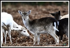_DSC7214 (nowboy8) Tags: nikon nikond7200 nikond500 bradgatepark bradgate deer bambi oldjohn riverlin monkeypuzzletree rutting scenery leicestershire