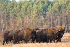 European bison (Bison bonasus) (tomaszberlin) Tags: europeanbison bisonbonasus poland nature natureconservation polska żubr ngc nikon d500 n3004vr białowieża puszczabiałowieska bialowiezaforest puszcza landscape
