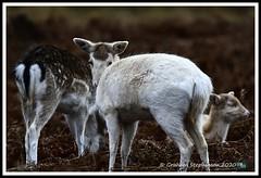 _DSC7212 (nowboy8) Tags: nikon nikond7200 nikond500 bradgatepark bradgate deer bambi oldjohn riverlin monkeypuzzletree rutting scenery leicestershire