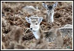 _DSC7209 (nowboy8) Tags: nikon nikond7200 nikond500 bradgatepark bradgate deer bambi oldjohn riverlin monkeypuzzletree rutting scenery leicestershire