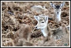 _DSC7206 (nowboy8) Tags: nikon nikond7200 nikond500 bradgatepark bradgate deer bambi oldjohn riverlin monkeypuzzletree rutting scenery leicestershire