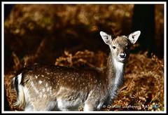 _DSC7178 (nowboy8) Tags: nikon nikond7200 nikond500 bradgatepark bradgate deer bambi oldjohn riverlin monkeypuzzletree rutting scenery leicestershire