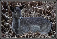 _DSC7161 (nowboy8) Tags: nikon nikond7200 nikond500 bradgatepark bradgate deer bambi oldjohn riverlin monkeypuzzletree rutting scenery leicestershire