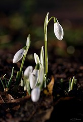 Schneeglöckchen  / snowdrop (Ellenore56) Tags: 17012020 schneeglöckchen snowdrop snowdrops galanthus galanthusnivalis blütenpflanze blüte blume flower flora pflanzenwelt floral bloom florescence blossom pflanze plant natur nature botanik botanical botany garten garden januar phanerogam sonnenlicht sunlight wetter weather atmosphäre atmaosphere ambience stimmung mood detail moment augenblick sichtweise perception perspektive perspective reflektion reflection reflexion farbe color colour licht light inspiration imagination faszination magic magical sonyslta77 ellenore56