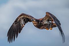 Immature Bald eagle (KMac_042) Tags: raptor bird eagle baldeagle immature