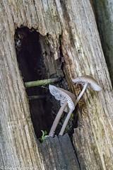 Toadstools (GrahamL63) Tags: toadstool wood rot
