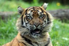 sumatran tiger Burgerszoo BB2A1696 (j.a.kok) Tags: animal asia azie cat kat sumatraansetijger sumatrantiger tijger tiger sumatra pantheratigrissumatrae burgerszoo mammal zoogdier dier predator