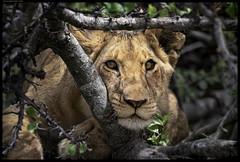 Watching You IV (frankmartinroth) Tags: kenya africa wildlife safari bokeh nature animal closeup outdoor blur color lion tree 100400mm f4556 telephoto sony a7r3 eyes yellow masaimara