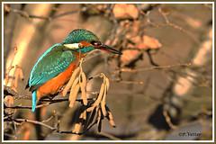 Martin-Pêcheur 200116-01-P (paul.vetter) Tags: nature faune oiseau vogel bird martinpêcheur alcedoatthis commonkingfisher martínpescadorcomún guardarios eisvogel alcédinidé