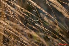 Grasses (2362) (red.richard) Tags: grass dew macro closeup sidelit nikon d800 cof094 cof094dero cod094mchi cof094radm cof039lep cof094dmnq cof094uki cof094anne cof0942007 cof094mvfs cof094chri