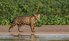 Watching The Fugitive Breakfast (AnyMotion) Tags: jaguar pantheraonca onçapintada cat cats katzen katze hunting jagend water wasser sandbank 2019 anymotion sãolourençoriver pantanal matogrosso brazil brasilien southamerica südamerika américadosul travel reisen animal animals tiere nature natur wildlife 7d2 canoneos7dmarkii jaguarmorninghunt ncg npc