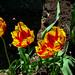 Tulip, Parc du Bois-de-Coulonge, Quebec