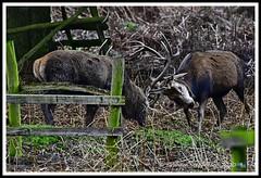 _DSC7305 (nowboy8) Tags: nikon nikond7200 nikond500 bradgatepark bradgate deer bambi oldjohn riverlin monkeypuzzletree rutting scenery leicestershire