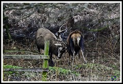 _DSC7293 (nowboy8) Tags: nikon nikond7200 nikond500 bradgatepark bradgate deer bambi oldjohn riverlin monkeypuzzletree rutting scenery leicestershire