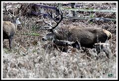 _DSC7281 (nowboy8) Tags: nikon nikond7200 nikond500 bradgatepark bradgate deer bambi oldjohn riverlin monkeypuzzletree rutting scenery leicestershire