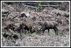 _DSC7270 (nowboy8) Tags: nikon nikond7200 nikond500 bradgatepark bradgate deer bambi oldjohn riverlin monkeypuzzletree rutting scenery leicestershire