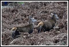 _DSC7260 (nowboy8) Tags: nikon nikond7200 nikond500 bradgatepark bradgate deer bambi oldjohn riverlin monkeypuzzletree rutting scenery leicestershire