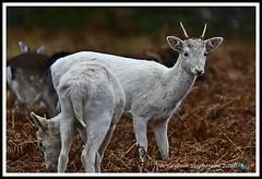 _DSC7251 (nowboy8) Tags: nikon nikond7200 nikond500 bradgatepark bradgate deer bambi oldjohn riverlin monkeypuzzletree rutting scenery leicestershire