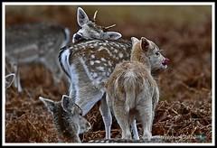 _DSC7244 (nowboy8) Tags: nikon nikond7200 nikond500 bradgatepark bradgate deer bambi oldjohn riverlin monkeypuzzletree rutting scenery leicestershire