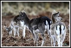 _DSC7232 (nowboy8) Tags: nikon nikond7200 nikond500 bradgatepark bradgate deer bambi oldjohn riverlin monkeypuzzletree rutting scenery leicestershire