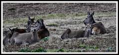 _DSC7198 (nowboy8) Tags: nikon nikond7200 nikond500 bradgatepark bradgate deer bambi oldjohn riverlin monkeypuzzletree rutting scenery leicestershire