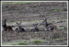 _DSC7197 (nowboy8) Tags: nikon nikond7200 nikond500 bradgatepark bradgate deer bambi oldjohn riverlin monkeypuzzletree rutting scenery leicestershire