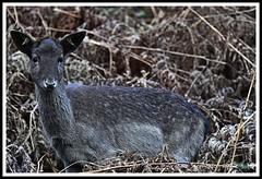 _DSC7158 (nowboy8) Tags: nikon nikond7200 nikond500 bradgatepark bradgate deer bambi oldjohn riverlin monkeypuzzletree rutting scenery leicestershire
