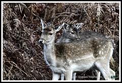 _DSC7154 (nowboy8) Tags: nikon nikond7200 nikond500 bradgatepark bradgate deer bambi oldjohn riverlin monkeypuzzletree rutting scenery leicestershire