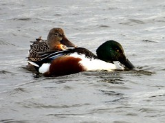 Shoveler pair 16.1.20 (ericy202) Tags: shoveler ducks pair tidal pool titchwell rspb