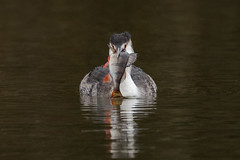 great crested grebe (ianbollen) Tags: england nottinghamshire attenborough bird grebe greatcrested perch