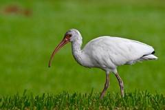 Immature White Ibis (bmasdeu) Tags: white ibis bird imperiled species fwc florida wildlife