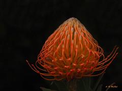 Orange Protea in the Shadows 1 - Kula, Maui (Barra1man (Very Busy)) Tags: orangeproteaintheshadows1 orangeprotea pincushionprotea starburstprotea flower tropical tropicalflower orange upcountry agriculturalresearchstationofmaui kula maui hawaii unitedstates olympus olympusem1 iso800 lens300mm f5612000