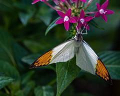 Great Orange Tip Butterfly (Stephen G Nelson) Tags: insect butterfly greatorangetip botanicalgarden tucson arizona