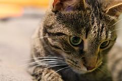 Mittens testing lens (JaaniicB) Tags: canon sigma 1835mm f18 mittens art 77d cat domestic animal testing