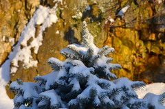 Winter Morning (Neal D) Tags: bc abbotsford snow tree spruce bluespruce