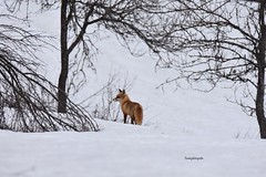 Fox in the snow in Rakovica (Tommysfotografie) Tags: world earth balkan hrvatska kroatien croazia croatia peoplewhohike behindthelens hikingadventures hikinghobby hiking hike bäume baum bomen boom ambre arbor trees tree winterlandschap winterlandschaft winterwonderland winter snow nikon7200 nikon 600mm natureshot naturebeauty natureperfection naturephoto naturephotography vos fuchs fox dieren dier tieren tier animals animal
