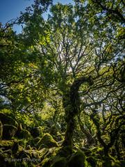 Wistman's Wood (rschubert98) Tags: uk singletree olympus mzuiko124028pro baum naturephotography sommer nature summer tree dartmoor national park