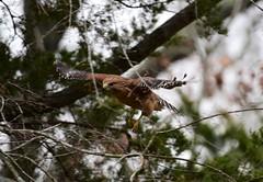 Hawk_3497 (2) (Porch Dog) Tags: 2020 garywhittington kentucky nikond750 nikkor200500mm wildlife hawk nature january winter bird avian