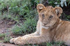 Unhappy Cold Lion Cub (Hector16) Tags: olaremotorogi motorogiconservancy kenya wildlife 2019 massaimara masaimara siana narokcounty