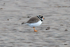 Ringed Plover (Dougie Edmond) Tags: southayrshire scotland unitedkingdom bird sea side naturee wildlife