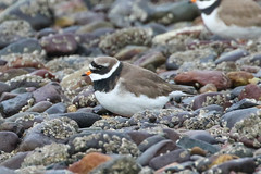 Ringed Plover (Dougie Edmond) Tags: scotland unitedkingdom southayrshire sea bird wildlife side naturee