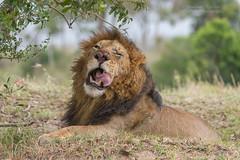 African Lion - Panthera leo (rosebudl1959) Tags: 2019 kenya november africanlion malelion zebraplainsmaracamp masaimara maridadi