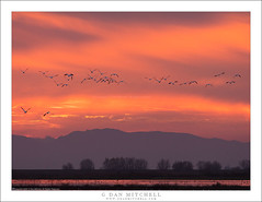 Winter Sunset (G Dan Mitchell) Tags: central sanjoaquin valley winter season sunset evening dusk clouds mountains sky pond wetlands birds flock flight nature california usa north america geese mnwr