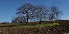 Trois arbres sur un tapis (jc.petitjean) Tags: paysage landscape arbres trees champs fields auvergne france